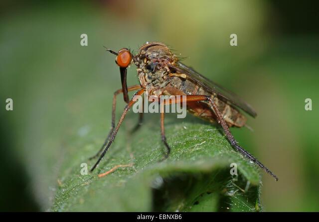 Tanz-Fliege (Fortsätzen), sitzt auf einem Blatt, Deutschland Stockbild
