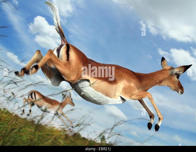 Impala (Aepyceros Melampus), springen im Flug, Kenia, Masai Mara Nationalpark Stockbild