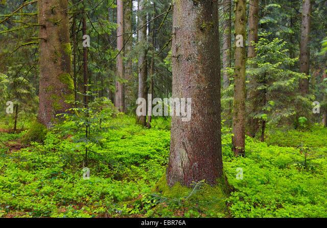 Spruce picea abies forest habitat stockfotos spruce Habitat deutschland