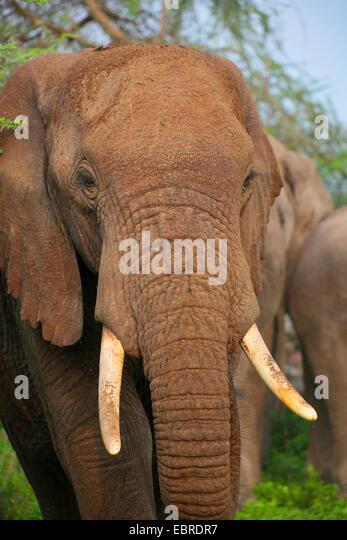 Afrikanischer Elefant (Loxodonta Africana), Portraet, Tansania, Serengeti Nationalpark Stockbild