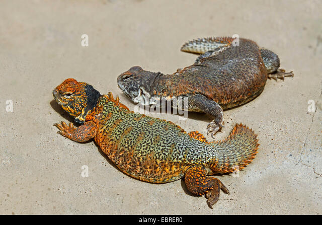 Ägyptische stacheligen angebundene Eidechse, ägyptische Mastigure, Dabb Eidechse (Dornschwanzagamen Aegyptia), Stockbild
