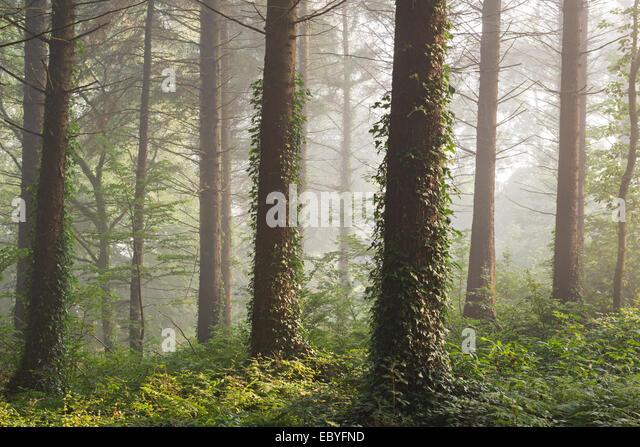 Pinienwald mit frühen Morgensonne, Morchard Bischof, Devon, England. Herbst (September) 2014. Stockbild