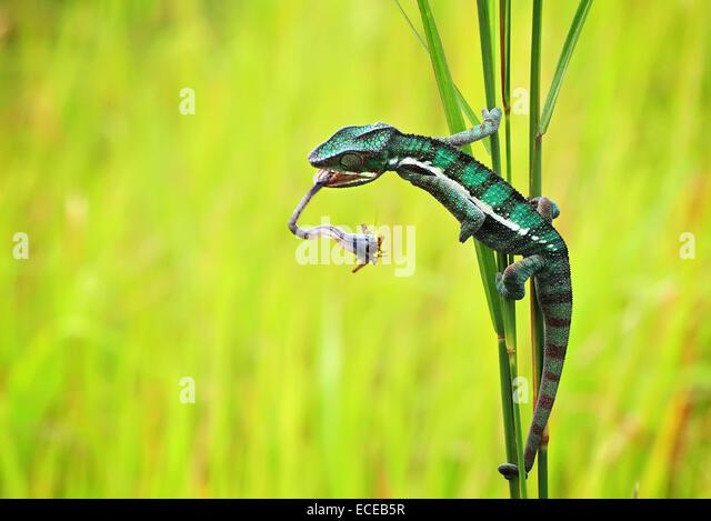 Indonesien, Riau-Inseln, Batam Stadt, Chamäleon-Jagd Stockbild