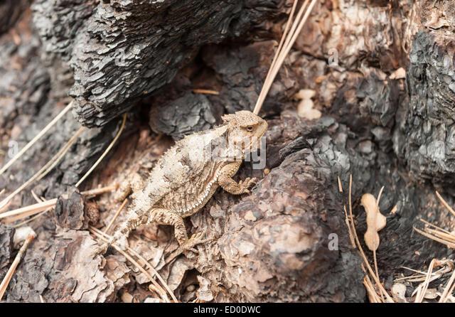 USA, Arizona, Krötenechsen auf Baumstamm Stockbild