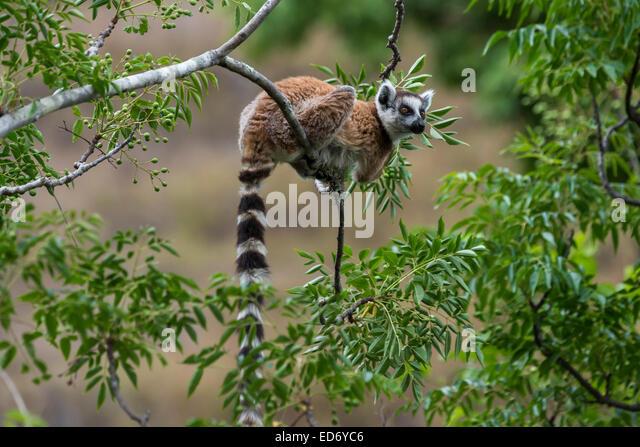 Katta (Lemur Catta), auf einem Baum, Madagaskar Stockbild