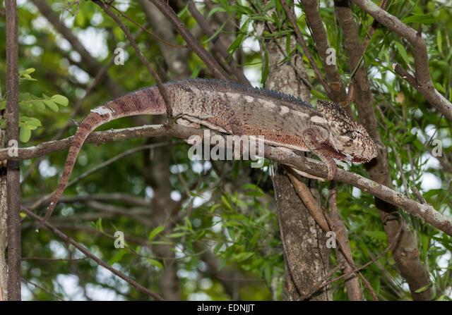 Die Oustalet oder madagassische riesige Chamäleon (Furcifer Oustaleti), Adringitra Region, Madagaskar Stockbild
