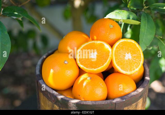 hölzerner Eimer voller Orangen gegen Laub von einem Orangenbaum Stockbild