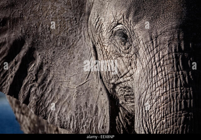 Afrikanischer Elefant - Stock-Bilder