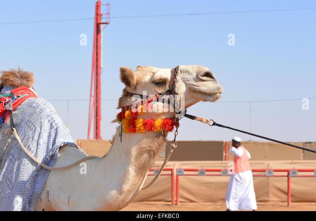 Racing Kamel kurz vor einem Rennen Stockbild