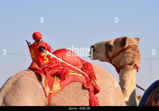 Robot racing Jockey auf einem Kamel vor einem Rennen Stockbild