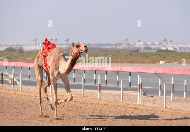 Racing Kamel Al Wathba Racecourse in Abu Dhabi Stockbild