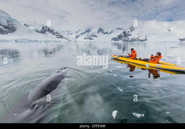 Eine neugierige Antarktis Zwergwal nähert sich Kajakfahrer in Neko Harbor, Antarktis, Polarregionen Stockbild