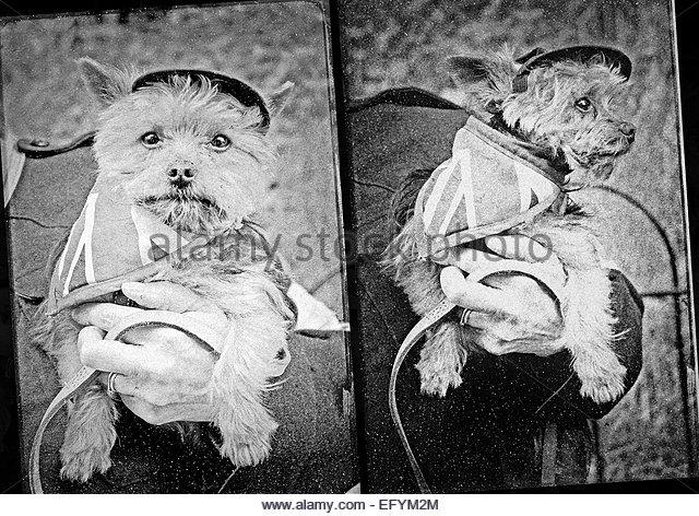 Patriotische hund Maskottchen in ww2 Stil Union Jack Outfit Fotos Stockbild