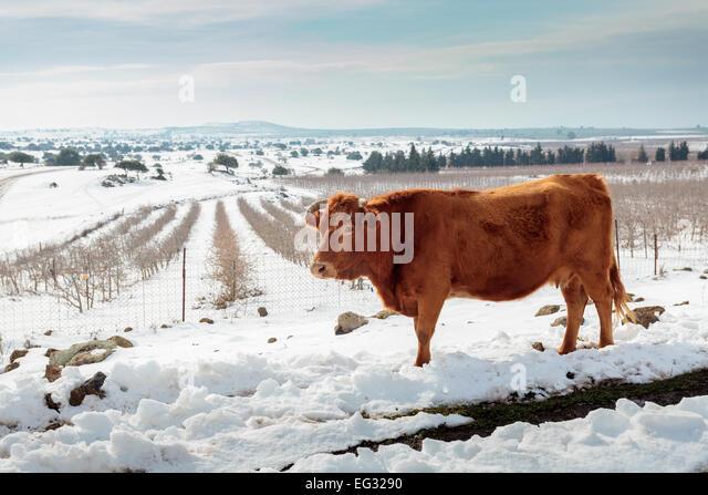Kühe in der Schneelandschaft. Fotografiert in den Golanhöhen, Israel Stockbild