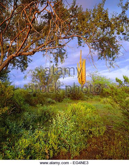 Saguaro-Kaktus [Carnegiea Gigantea], Eisenholz Baum [Olneya Tesota].  Ironwood Forest National Monument, Arizona. Stockbild