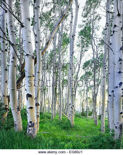 Aspen Grove in die La Sal Mountains.  Sommer.  Manti La Sal National Forest, Utah. Stockbild
