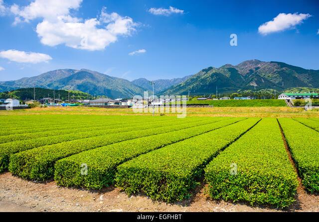 Tee-Plantage Landschaft in Yokkaichi, Japan. Stockbild