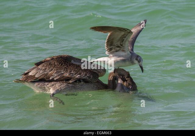 Braune Pelikan und Möwe Aufräumvorgang Stockbild
