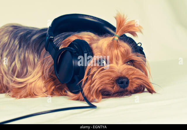 Niedlichen Hund hören Sie Musik mit großen schwarzen Kopfhörern und Blick in die Kamera Stockbild