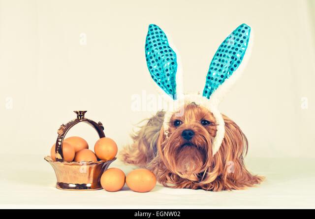 Netter Hund wie Ostern Hase liegend Porträt mit Eiern in goldenen Korb. Retro-Foto-Effekt. Stockbild