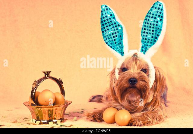 Netter Hund wie Ostern Hase liegend Porträt mit Eiern in goldenen Korb, Blick in die Kamera. Retro-Foto-Effekt. Stockbild