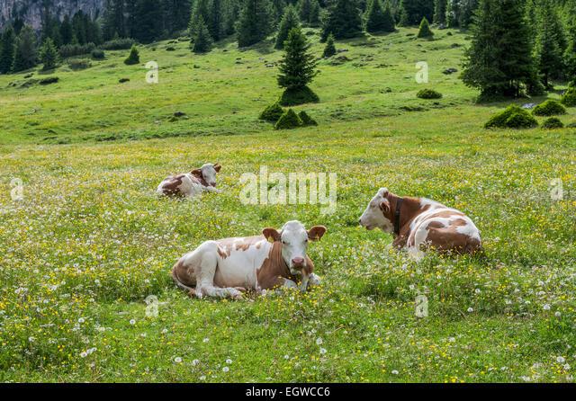 Hausrind liegen in der Wiese, Vallelunga, Naturpark Puez-Geisler, Sëlva, Val Gardena, Dolomiten, Selva di Val Stockbild