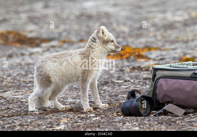 Neugierig Polarfuchs (Vulpes Lagopus) im Sommer Mantel ermittelnden Naturfotograf Kameratasche, Spitzbergen, Norwegen Stockbild