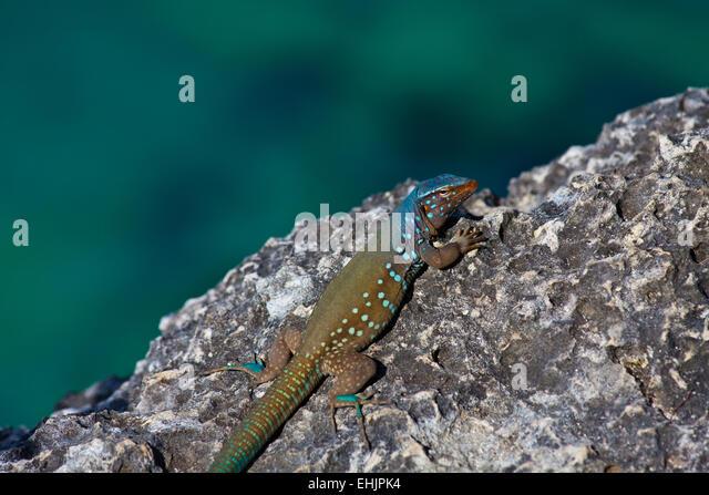 Bonaire Whiptail Eidechse Stockbild