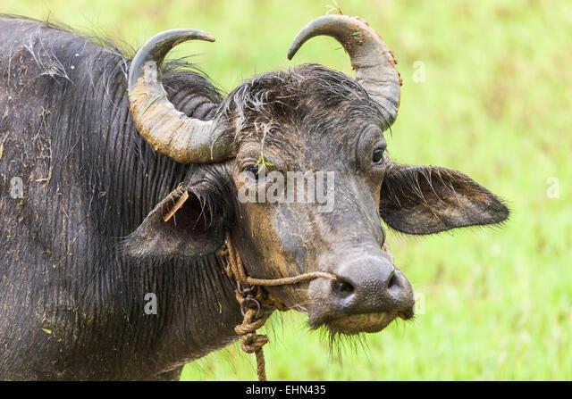 Buffalo, Indien. Stockbild
