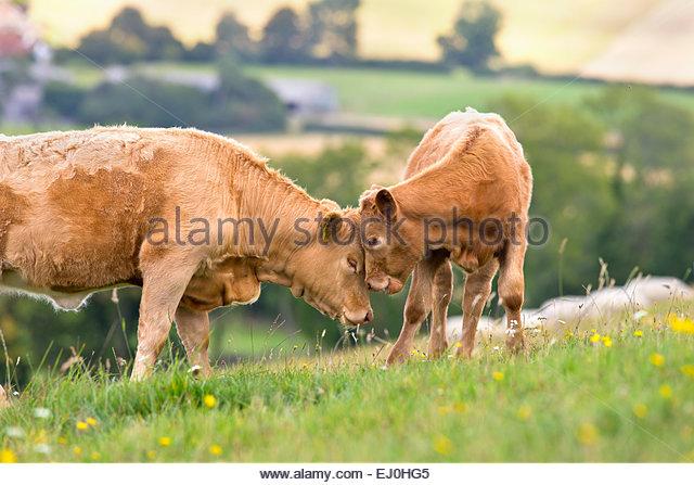 Devon-Kuh mit Kalb im ländlichen Bereich Stockbild