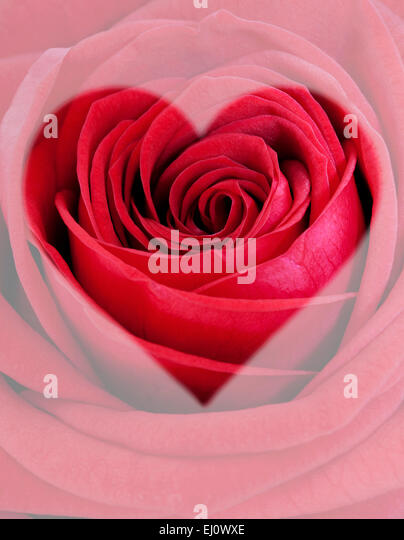 Rote rose Herzform Stockbild