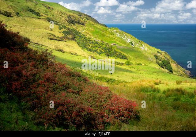 Fuschia wild wächst. Torr Head. Nordirland. Stockbild