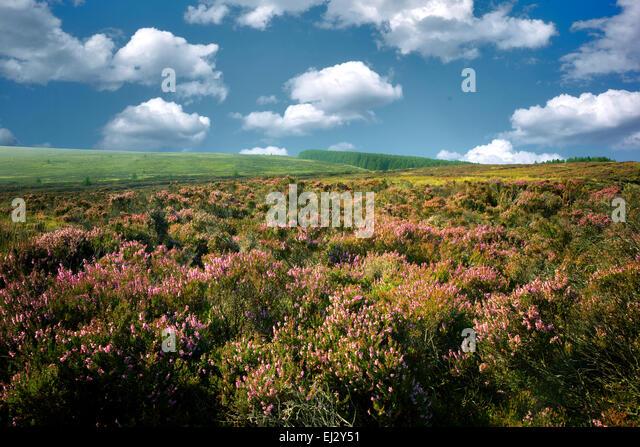 Wilde Heide in der Nähe von Ballycastle. Nordirland Stockbild