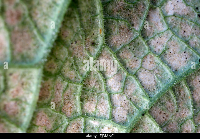 plant infestation stockfotos plant infestation bilder seite 3 alamy. Black Bedroom Furniture Sets. Home Design Ideas