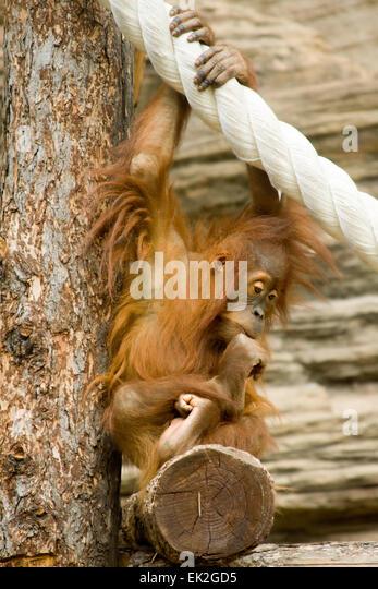 Junger Orang-Utan sitzt in einer Pose des Philosophen Stockbild