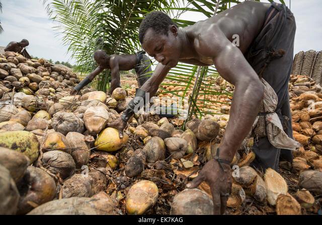 Ein Arbeiter Hülsen Kokosnüsse bei einem Fair-Trade-Kokosnuss-Hersteller in Grand Bassam, Elfenbeinküste, Stockbild