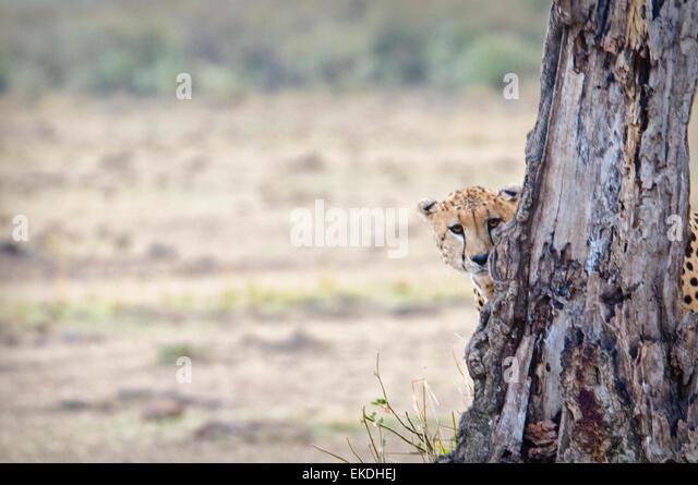 Junge Geparden, Acinonyx Jubatus, versteckt und spähen hinter einem Baum in der Masai Mara, Kenia, Ostafrika Stockbild