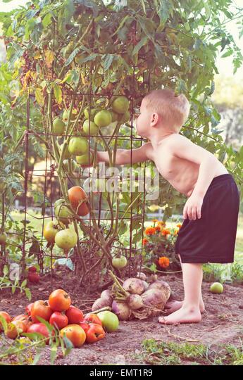 Kind, die Kommissionierung Tomaten aus Gemüsegarten Stockbild