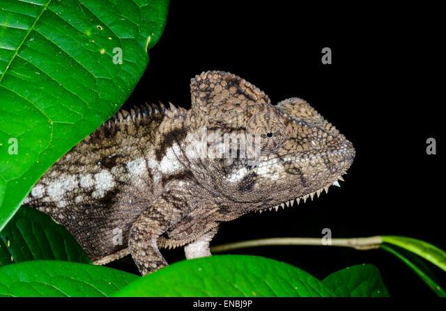 Furcifer Oustaleti, Marozevo, Madagaskar Stockbild