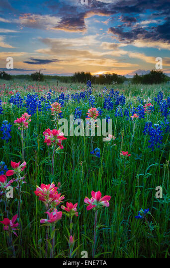 Texas-Pinsel und Kornblumen in Ennis / Texas. Stockbild