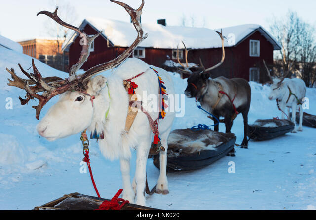 Rentier, winterfest, Jokkmokk, Lappland, Arctic Circle, Schweden, Skandinavien, Europa Stockbild