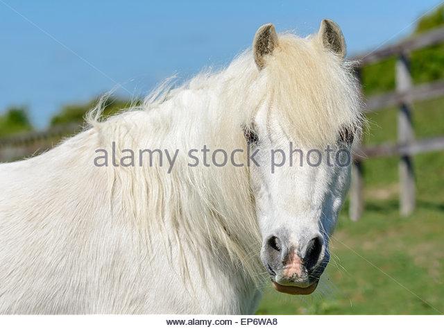 Inländischen weißen Pferd in einem Feld in die Kamera schaut. Stockbild