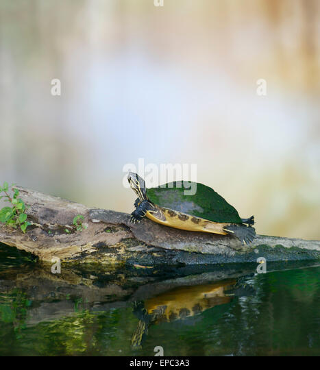 Florida Cooter Schildkröte auf einem Baumstamm Stockbild