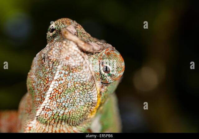 Pantherchamäleon, Furcifer Pardalis, Ost Madagaskar, Madagaskar, Afrika Stockbild