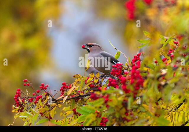 Seidenschwanz Essen Vogelbeeren, nachdem Rowan berry in seinem Schnabel sitzt in einer in einer Eberesche mit Herbstfarben Stockbild