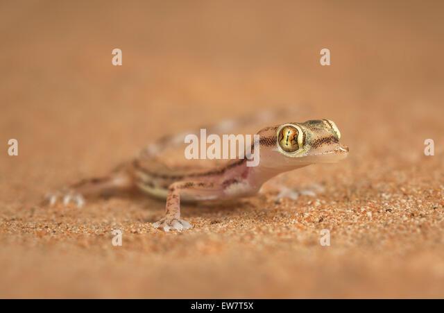 Arabischen Sand Gecko (Stenodactylus Arabicus), Sharjah, Vereinigte Arabische Emirate Stockbild