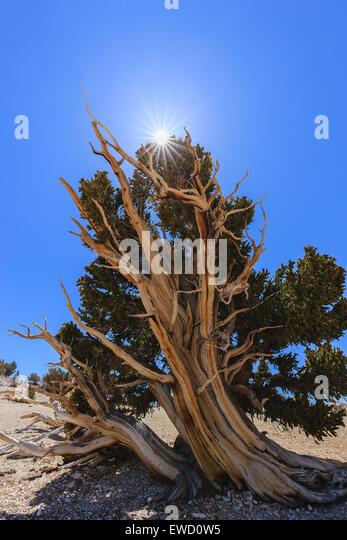 Bristlecone Pine Forest in den White Mountains, östlichen Kalifornien, USA. Die ältesten lebenden Bäume Stockbild