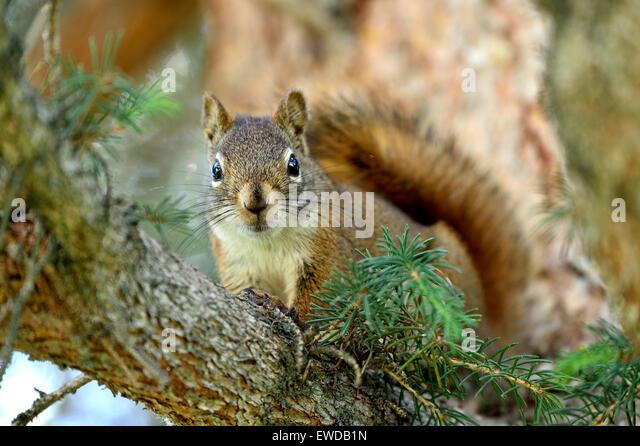 Eine wilde Eichhörnchen Tamiasciurus Hudsonicus, sitzt auf einem Ast, Blickkontakt Stockbild