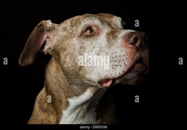 Kopfschuss Studio Profilbildnis eines klug senior Pitbull Hund auf der Suche nach oben im Vorgriff auf schwarzem Stockbild