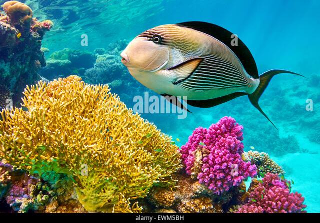 Rotes Meer - Unterwasser-Blick auf Fische und Korallen-Riff, Marsa Alam, Ägypten Stockbild